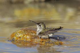 Illg_RedCreek_hummingbird