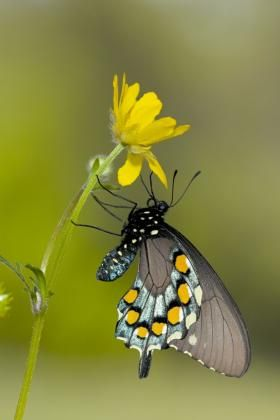 Franz_Knibbe_swallowtail