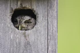 Wood_Selah_screech_owl