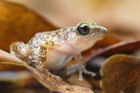 Nuss_Estrel_frog